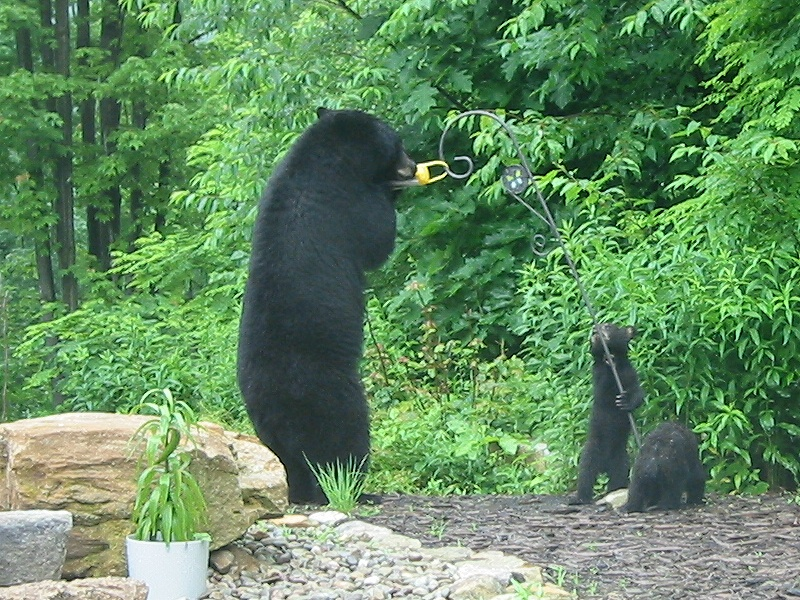 Black Bears in MD