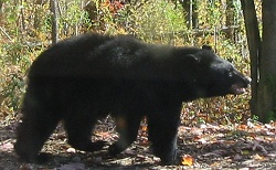 Black Bears at Deep Creek Lake, MD.