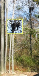 Black Bear climbing tree in Maryland