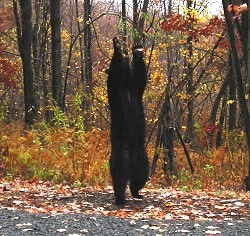 Movie of a Black Bear trying to reach a bird feeder.